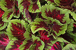 Kong Red Coleus (Solenostemon scutellarioides 'Kong Red') at Stauffers Of Kissel Hill