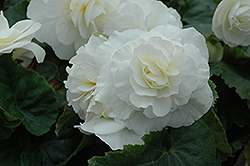 Nonstop® White Begonia (Begonia 'Nonstop White') at Stauffers Of Kissel Hill