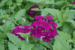 Superbena® Purple Verbena (Verbena 'Superbena Purple') at Stauffers Of Kissel Hill