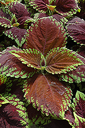 Kong Scarlet Coleus (Solenostemon scutellarioides 'Kong Scarlet') at Stauffers Of Kissel Hill