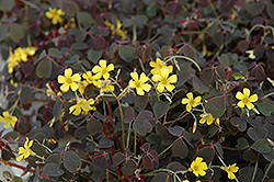 Zinfandel Shamrock (Oxalis vulcanicola 'Zinfandel') at Stauffers Of Kissel Hill