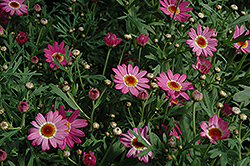 Madeira Deep Pink Marguerite Daisy (Argyranthemum frutescens 'Madeira Deep Pink') at Stauffers Of Kissel Hill