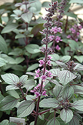 African Blue Basil (Ocimum 'African Blue') at Stauffers Of Kissel Hill