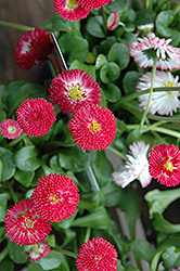 Bellisima Red English Daisy (Bellis perennis 'Bellissima Red') at Stauffers Of Kissel Hill