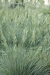 Elijah Blue Fescue (Festuca glauca 'Elijah Blue') at Stauffers Of Kissel Hill