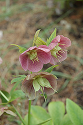 Pink Lady Hellebore (Helleborus 'Pink Lady') at Stauffers Of Kissel Hill