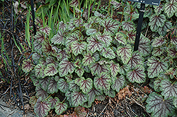 Green Spice Coral Bells (Heuchera 'Green Spice') at Stauffers Of Kissel Hill
