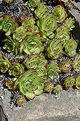 Hens And Chicks (Sempervivum tectorum) at Stauffers Of Kissel Hill