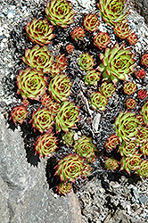 Sunset Hens And Chicks (Sempervivum 'Sunset') at Stauffers Of Kissel Hill