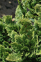 Well's Special Hinoki Falsecypress (Chamaecyparis obtusa 'Well's Special') at Stauffers Of Kissel Hill