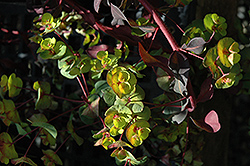 Ruby Glow Wood Spurge (Euphorbia amygdaloides 'Waleuphglo') at Stauffers Of Kissel Hill