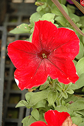 Madness Red Petunia (Petunia 'Madness Red') at Stauffers Of Kissel Hill