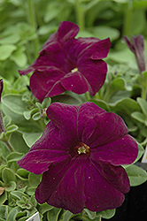 Dreams Midnight Petunia (Petunia 'Dreams Midnight') at Stauffers Of Kissel Hill