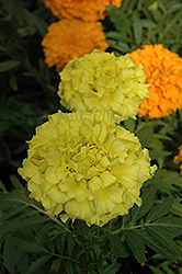 Taishan Yellow Marigold (Tagetes erecta 'Taishan Yellow') at Stauffers Of Kissel Hill