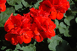 Patriot Red Geranium (Pelargonium 'Patriot Red') at Stauffers Of Kissel Hill