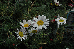Silver Kisses Mount Atlas Daisy (Anacyclus pyrethrum 'Silberkissen') at Stauffers Of Kissel Hill