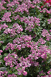 Compact Pink Innocence Nemesia (Nemesia 'Compact Pink Innocence') at Stauffers Of Kissel Hill