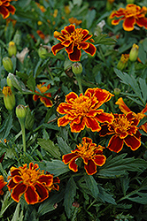 Durango Flame Marigold (Tagetes patula 'Durango Flame') at Stauffers Of Kissel Hill