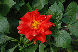 Figaro™ Red Dahlia (Dahlia 'Figaro Red') at Stauffers Of Kissel Hill
