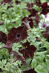 Sweetunia Black Satin Petunia (Petunia 'Sweetunia Black Satin') at Stauffers Of Kissel Hill