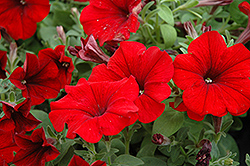 Sweetunia Hot Rod Red Petunia (Petunia 'Sweetunia Hot Rod Red') at Stauffers Of Kissel Hill