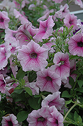 Shock Wave Pink Vein Petunia (Petunia 'Shock Wave Pink Vein') at Stauffers Of Kissel Hill