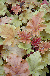 Marmalade Coral Bells (Heuchera 'Marmalade') at Stauffers Of Kissel Hill