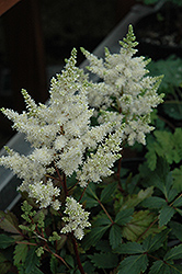 Younique White™ Astilbe (Astilbe 'Verswhite') at Stauffers Of Kissel Hill