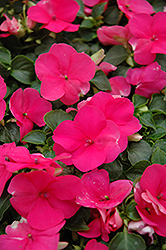 Super Elfin® Lipstick Impatiens (Impatiens walleriana 'Super Elfin Lipstick') at Stauffers Of Kissel Hill