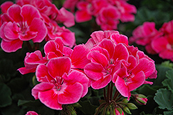 Presto Rose Sizzle Geranium (Pelargonium 'Presto Rose Sizzle') at Stauffers Of Kissel Hill