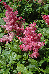 Younique Cerise Astilbe (Astilbe 'Verscerise') at Stauffers Of Kissel Hill