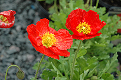 Spring Fever Red Poppy (Papaver nudicaule 'Spring Fever Red') at Stauffers Of Kissel Hill