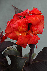 Tropical Bronze Scarlet Canna (Canna 'Tropical Bronze Scarlet') at Stauffers Of Kissel Hill
