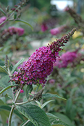 Miss Ruby Butterfly Bush (Buddleia davidii 'Miss Ruby') at Stauffers Of Kissel Hill