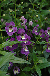 Archangel™ Purple Angelonia (Angelonia angustifolia 'Archangel Purple') at Stauffers Of Kissel Hill