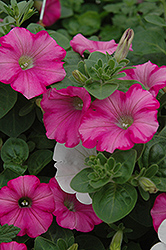 Supertunia® Raspberry Blast Petunia (Petunia 'Supertunia Raspberry Blast') at Stauffers Of Kissel Hill