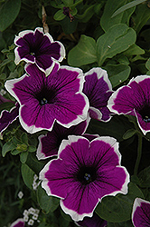 Cascadias Violet Skirt Petunia (Petunia 'Cascadias Violet Skirt') at Stauffers Of Kissel Hill