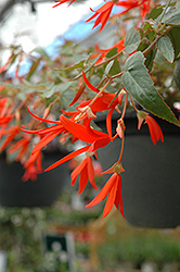 Bonfire Begonia (Begonia boliviensis 'Bonfire') at Stauffers Of Kissel Hill