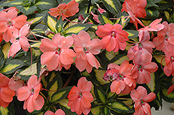 SunPatiens® Spreading Variegated Salmon New Guinea Impatiens (Impatiens 'SunPatiens Spreading Variegated Salmon') at Stauffers Of Kissel Hill