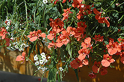 Flirtation® Orange Diascia (Diascia 'Flirtation Orange') at Stauffers Of Kissel Hill