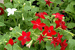 Saratoga Mix Flowering Tobacco (Nicotiana 'Saratoga Mix') at Stauffers Of Kissel Hill