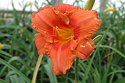 South Seas Daylily (Hemerocallis 'South Seas') at Stauffers Of Kissel Hill