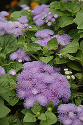 Hawaii Blue Flossflower (Ageratum 'Hawaii Blue') at Stauffers Of Kissel Hill