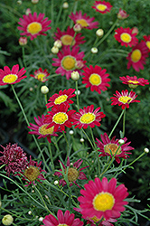 Madeira Red Marguerite Daisy (Argyranthemum frutescens 'Madeira Red') at Stauffers Of Kissel Hill
