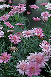 Madeira Crested Violet Marguerite Daisy (Argyranthemum frutescens 'Madeira Crested Violet') at Stauffers Of Kissel Hill