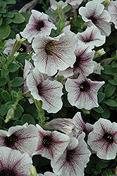 Supertunia® White Russian Petunia (Petunia 'Supertunia White Russian') at Stauffers Of Kissel Hill