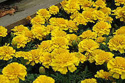 Janie Bright Yellow Marigold (Tagetes patula 'Janie Bright Yellow') at Stauffers Of Kissel Hill