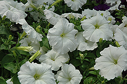 Easy Wave White Petunia (Petunia 'Easy Wave White') at Stauffers Of Kissel Hill