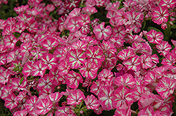 Grammy Pink and White Annual Phlox (Phlox 'Grammy Pink and White') at Stauffers Of Kissel Hill