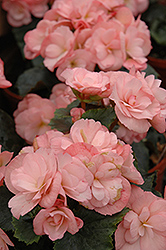 Dragone Champagne Begonia (Begonia 'Dragone Champagne') at Stauffers Of Kissel Hill